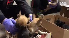 Traffico cani, cuccioli sequestrati a Reggio Emilia