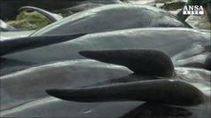 Oltre 150 cetacei spiaggiati in Australia