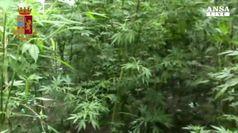 'Ndrangheta: trovate 26mila piante di marijuana