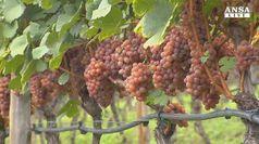 Vino: in vista annata eccezionale in Alto Adige