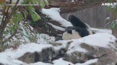 Washington sotto la neve, il panda fa festa
