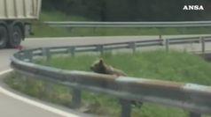 Gli orsetti scalatori  attraversano la strada