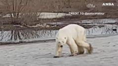 Un orso polare e' arrivato in citta'