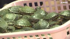 Malaysia: viaggiavano con 5.255 baby tartarughe, arrestati