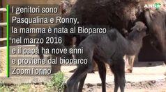Al Bioparco di Roma arriva la cammellina Prisca