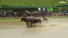 La corsa dei bufali in Thailandia