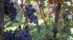 Parte la vendemmia, colto il primo grappolo in Sicilia