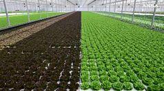 Sfera Agricola, pomodori e insalate 'nichel free'