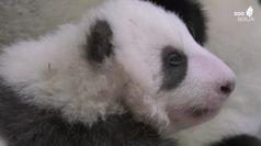 Berlino, due cuccioli di panda muovono i primi passi