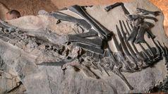 Bruno si presenta al pubblico, ricostruito fossile del dinosauro