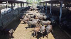 Coronavirus, i produttori di mozzarella di bufala: