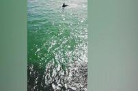Cagliari, branco di delfini a caccia: spettacolo al molo