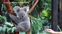 Australia, ecco 'Cenere': e' il primo koala nato dopo gli incendi