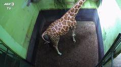 Uno zoo di Bali da' il benvenuto a Corona, la baby giraffa