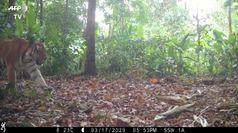 Tigri si aggirano nella giungla: le rari immagini catturate dalle telecamere