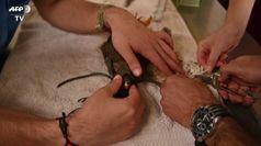 Trapianto di piume su falco ferito a San Salvador, veterinai a lavoro