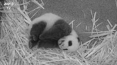 Il baby panda si lascia coccolare dalla mamma