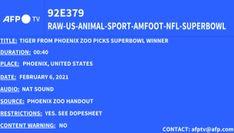 Superbowl, la tigre dello zoo di Phoenix sceglie il vincitore del match